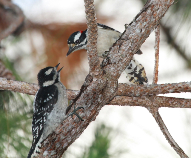Downy Woodpeckers ... Poppa feeding one of his kids!