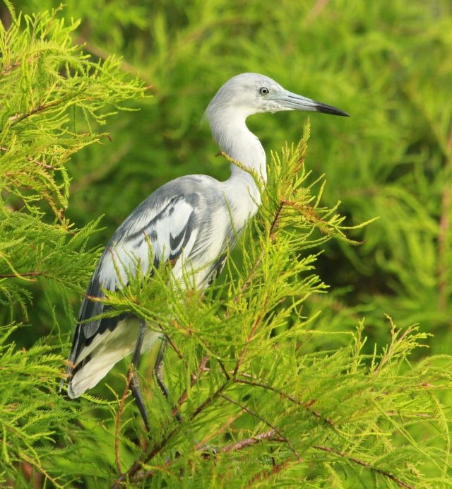Little Blue Heron ... This youngster was catching some morning sun.