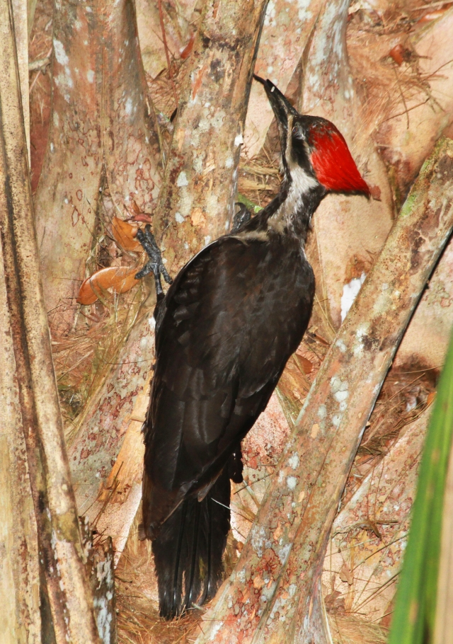 Pileated Woodpecker ... The Woody-wood Pecker of Woodpeckers!