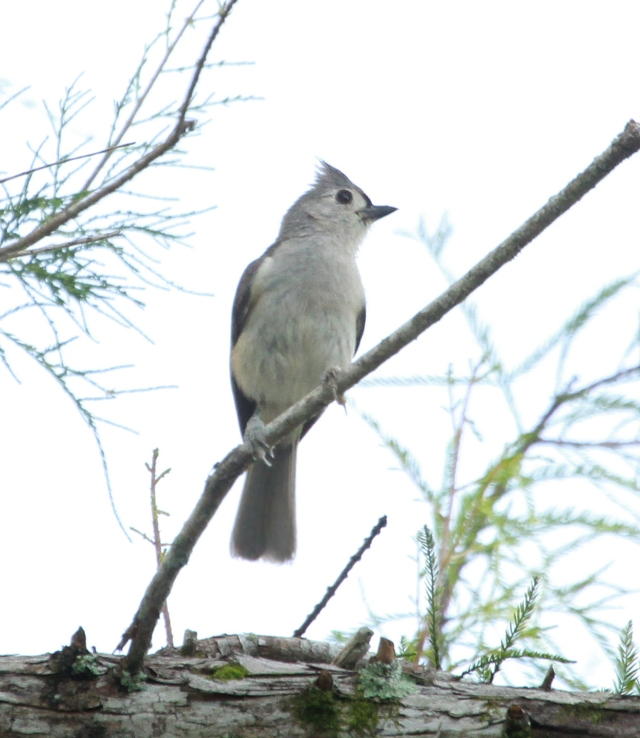 Tufted Titmouse ... This is the 255th species I've photographed in Palm Beach County!!