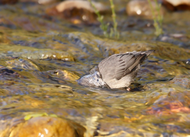 American Dipper ... This is a typical pose for these guys as they search for food.