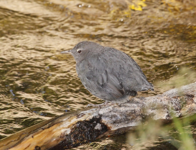 American Dipper ... This guy was just lounging in the sun.  He actually was having a hard time staying awake!