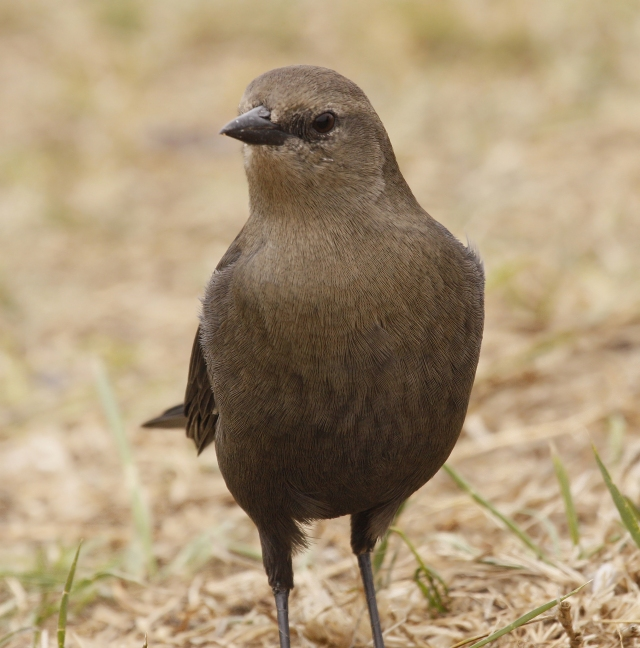 Brewer's Blackbird (female) ... She must have been wondering why I was laying on my belly!