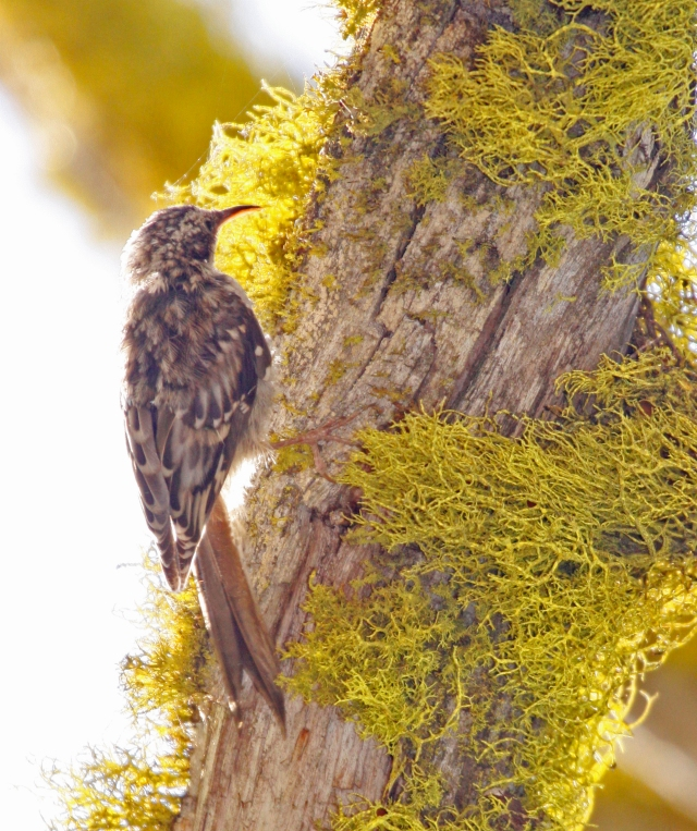 Brown Creeper .... I had seen this species before in Florida but this was the first time capturing it on film!