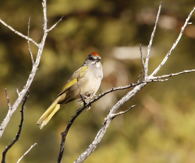 Green-tailed Towhee ... Always a favorite!