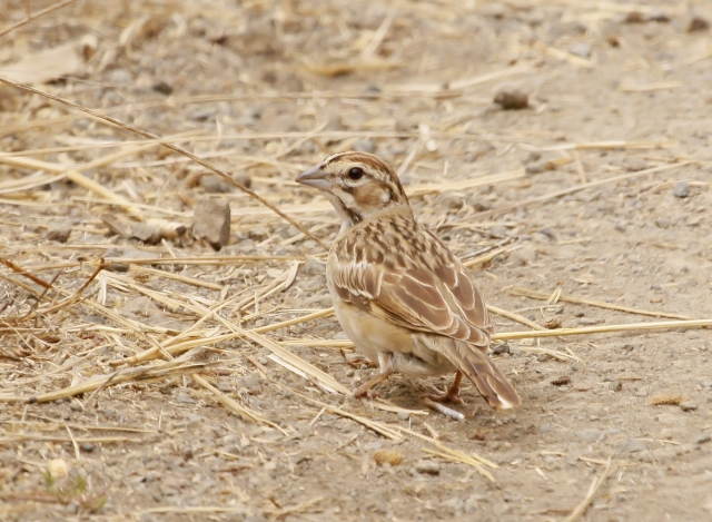Lark Sparrow ... I almost missed this guy as he really blended in with the path that led down to the beach.