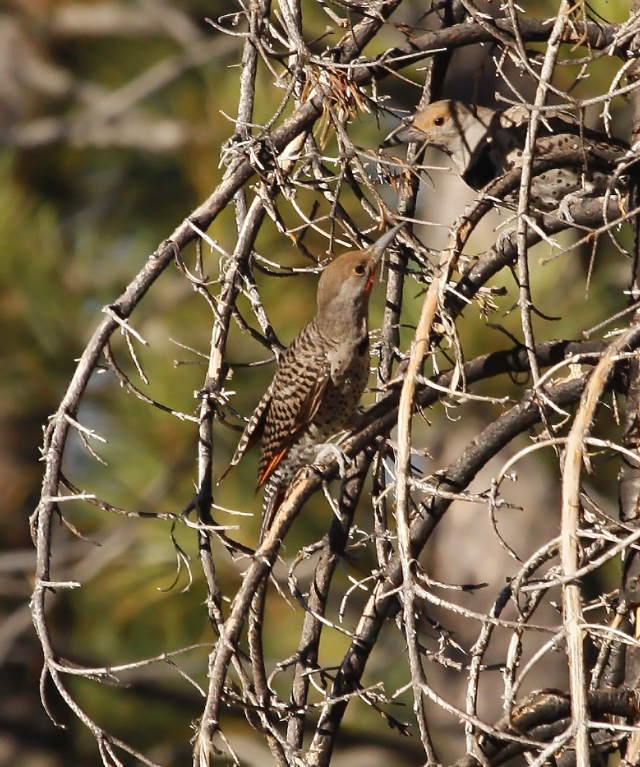 Northern Flicker (Red Shafted) feeding a young one.  In Florida we have the Yellow shafted version so this was a new bird, at least down to sub-species!