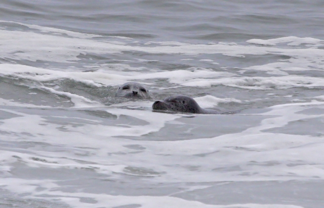 Sea Lions playing in the surf!