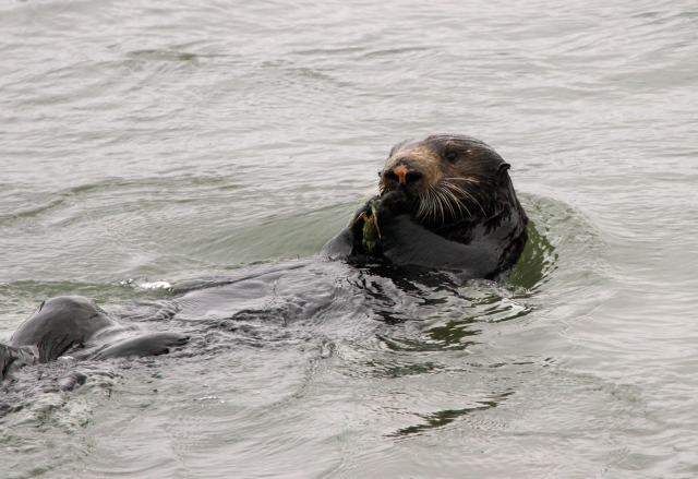 Sea Otter ... They were eating crabs and were just so cute to watch!