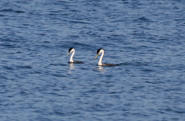 Western Grebes getting ready to dance!
