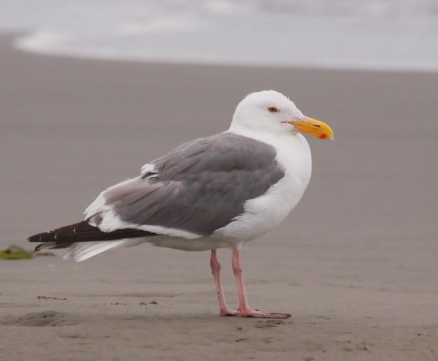 Adult Western Gull