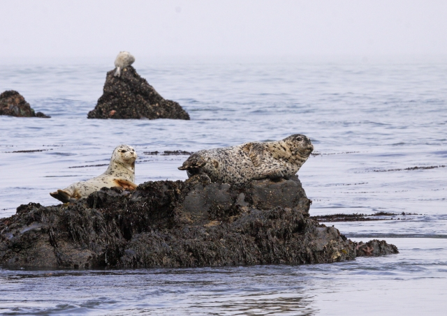 White-spotted Seals