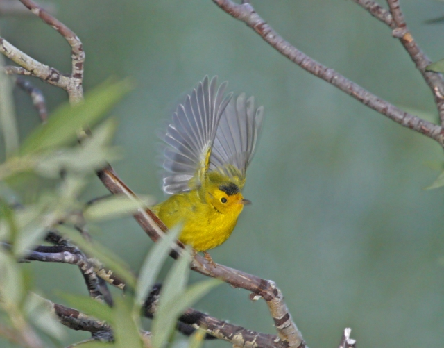 Wilson's Warbler ... He was right outside my truck and I guess he was a little starteled by the flash!!!
