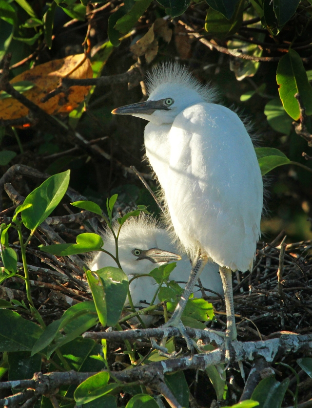 Cattle Egret ... more babies.