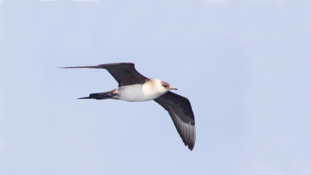Long-tailed Jaeger sporting his signicature tail streamer!