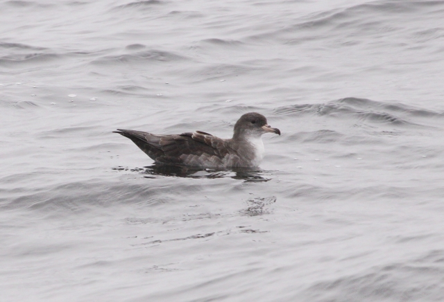Pink-foooted Shearwater