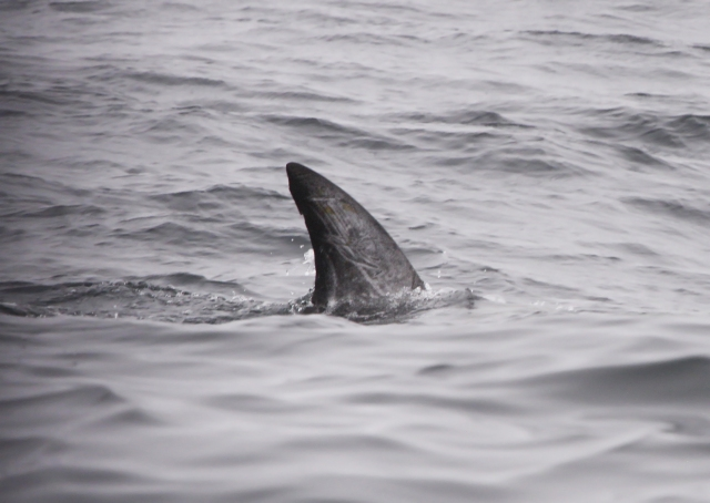 Risso' Dolphin