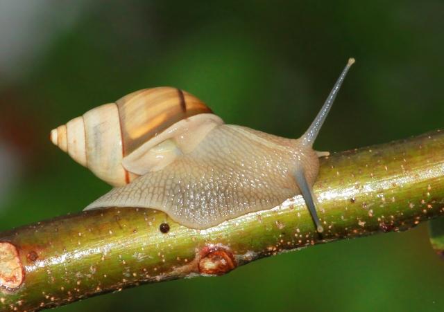 Lignus Snail ...