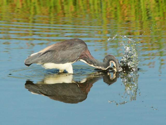 Tricolor Heron ...