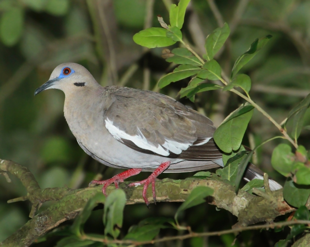White-winged Dove ... We tend to ignore Doves in general but this guy sure is stunning!