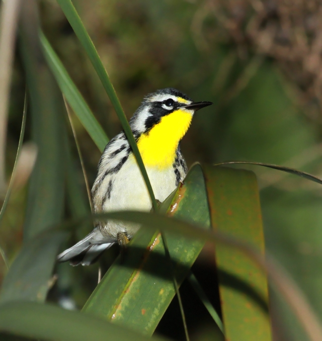 Yellow-throated Warbler ... He was chasing me around the parking lot this morning at GC!!