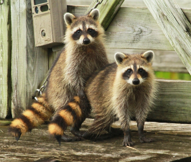 Racoon's ... I hope they wipe their feet before going inside!!