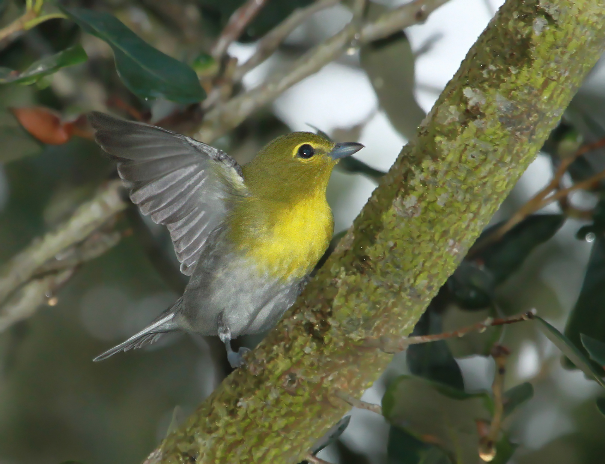 Yellow throated vireo fall - photo#53