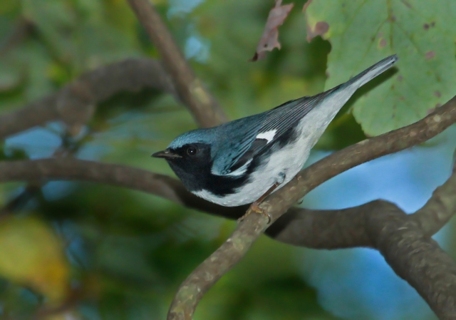Black-throated Blue ... This is a nice looking adult male.