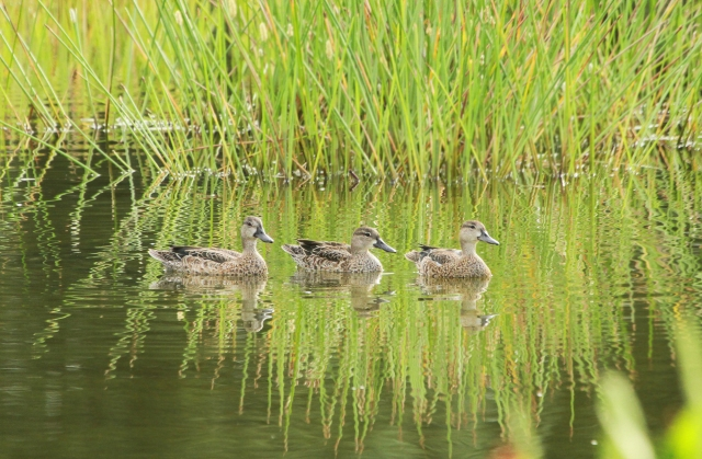 Blue-winged Teal ... Always nice when these guys first come back.  Hopefully a few of their cousins will visit us this year!