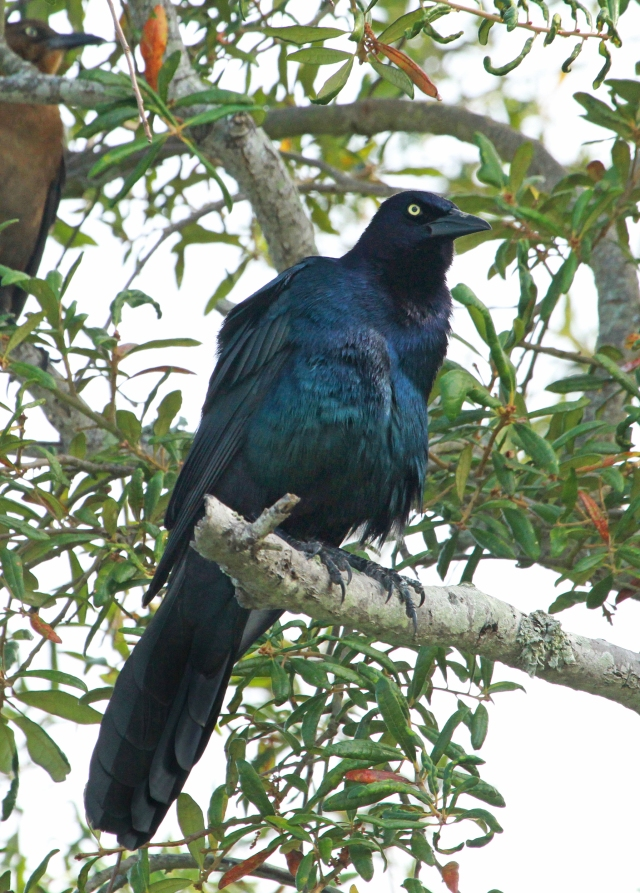 """Boat-tailed Grackle ... I know it's """"just"""" a Grackle but where I'm from in Florida none of them have yellow eyes.  You have to go North of the Florida border to see one and I was very excited to see this variation on a bird I see often."""