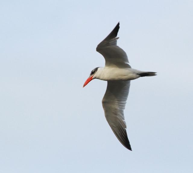 Caspian Tern ,,, I also saw Royal and Sandwich Terns