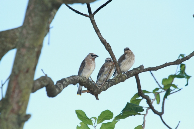Cedar Waxwings ... These three appear to be some of the youngsters I saw!