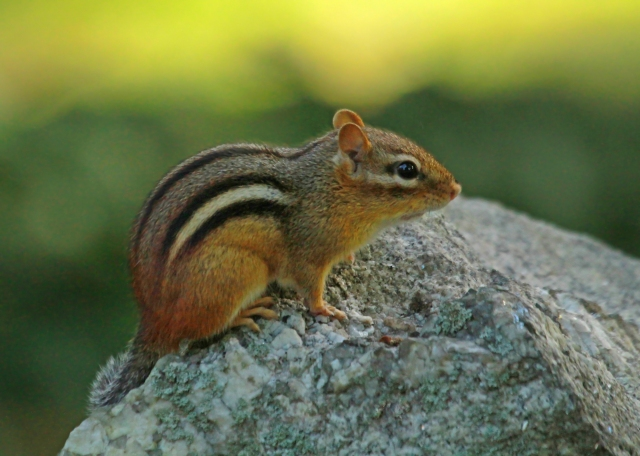 Chipmonk ... I can't go up North without taking a couple of shots of these little cuties!