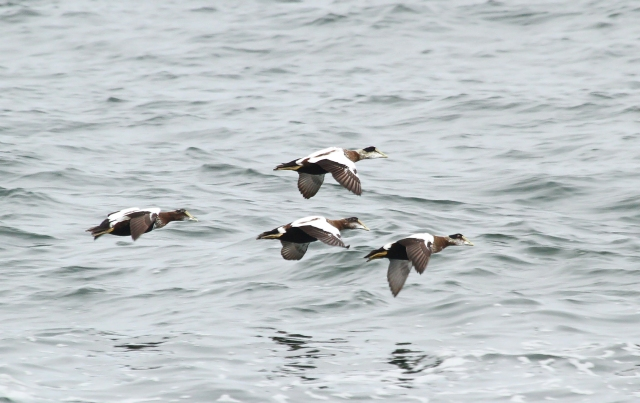 Common Eider ... Many. many flocks with all ages and sexes!
