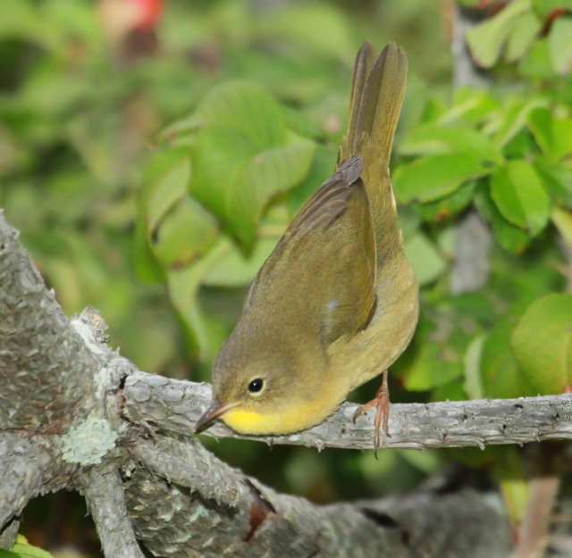 Common Yellowthroat ... Who should be heading South by now!