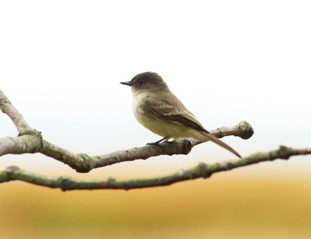 Eastern Phoebe ... I saw flocks of these flycatchers all heading South!