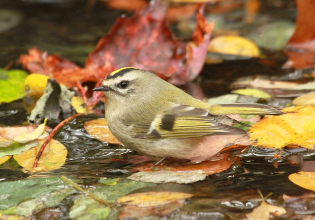 Golden-crowned Kinglet ... One of four lifers on this trip!