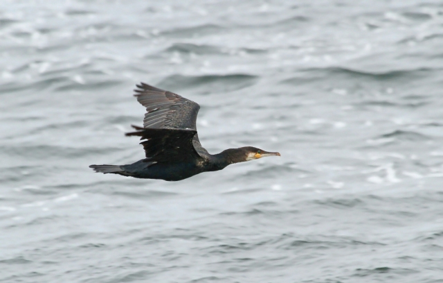 Great Cormorant ... Notice the white throat which is a key to distinguishing this species from the Double-crested Cormorant.