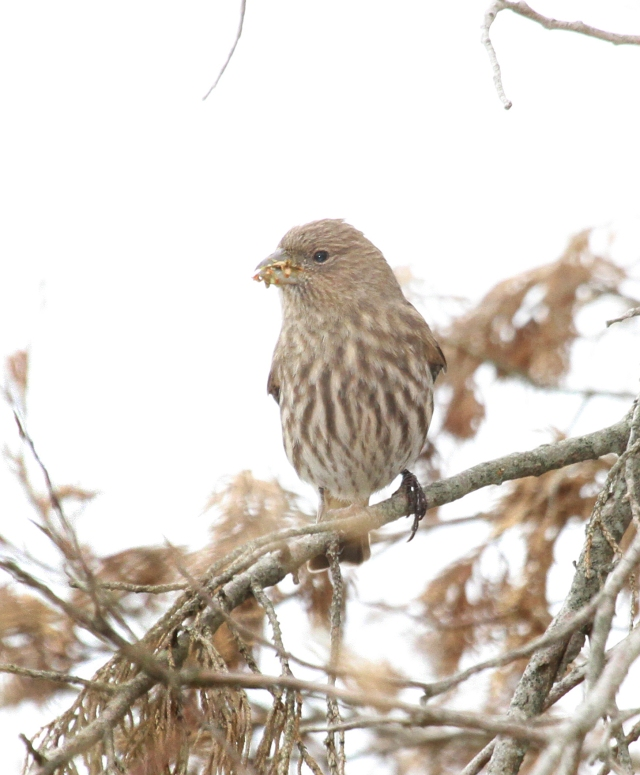 House Finch ... With a very dirty beak!