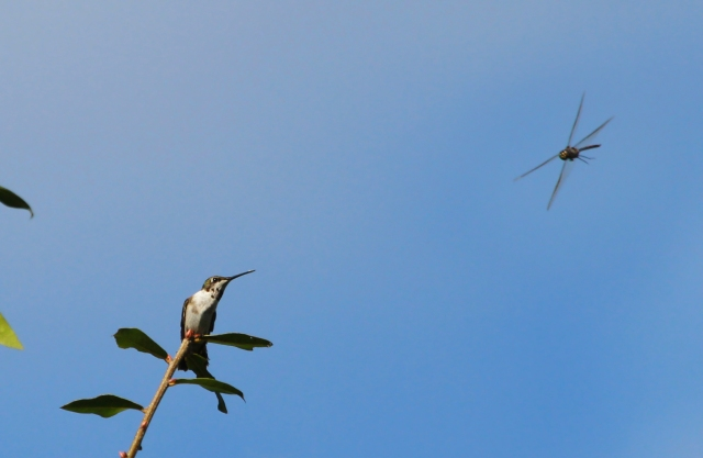 Ruby-throated Hummingbird ... He was protecting his perch from another Hummer and dozens of Dragonflies!