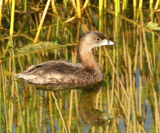 Pied-billed Grebe ... We did have one Grebe that Summered with us but in the last two weeks their numbers have gone up to a half dozen or so.