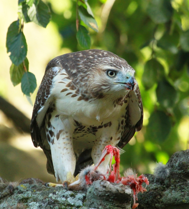 Red-tailed Hawk ... He wasn't eating a Chipmonk!
