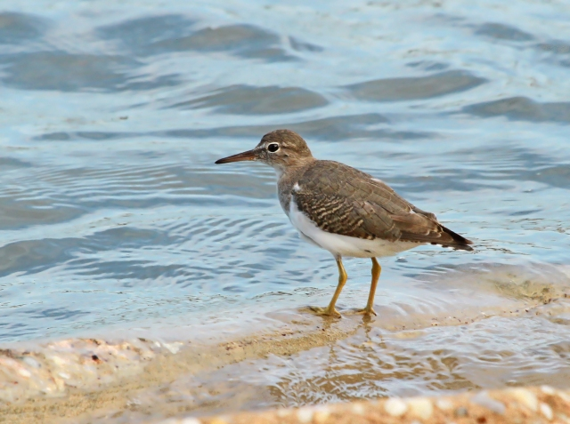 Spotted Sandpiper ... I also had 6 other species of shorebirds on the island.