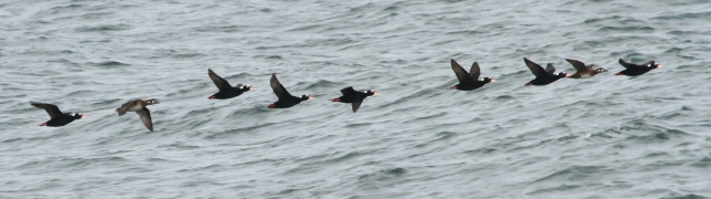 Surf Scoter .... This was the most prevelent Scoter going by with White-winged well represented also.