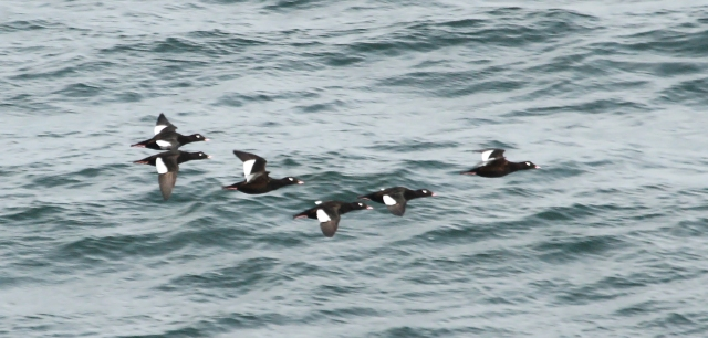 White-winged Scoters ... My smile got bigger and bigger as each flock passed ... the girls must have thought I was crazy!