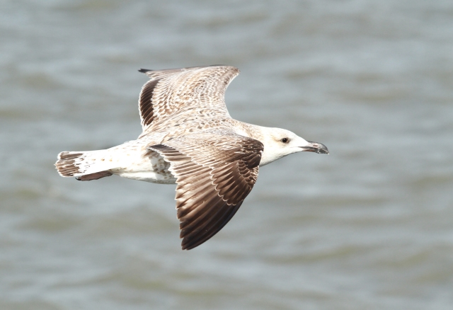 1st Year Greater Black-backed Gull  ... I love the coloration on these guys.