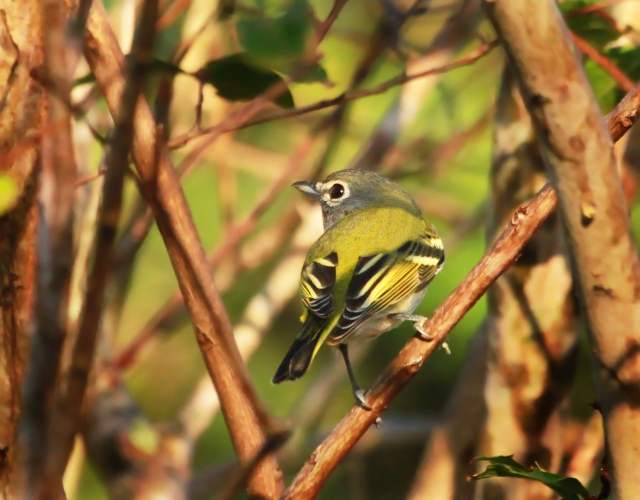 Blue-headed Vireo ...