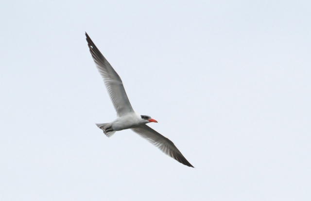 Caspian Tern ... A first for me at Green Cay Wetlands!