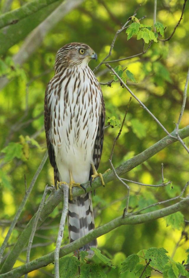 Coopers Hawk ...