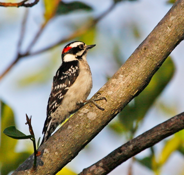 Downy Woodpecker ... I love these little guys!
